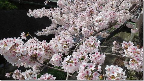 IMG_0017桜